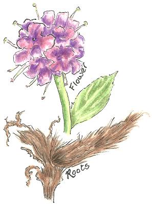 Spikenard flower and root